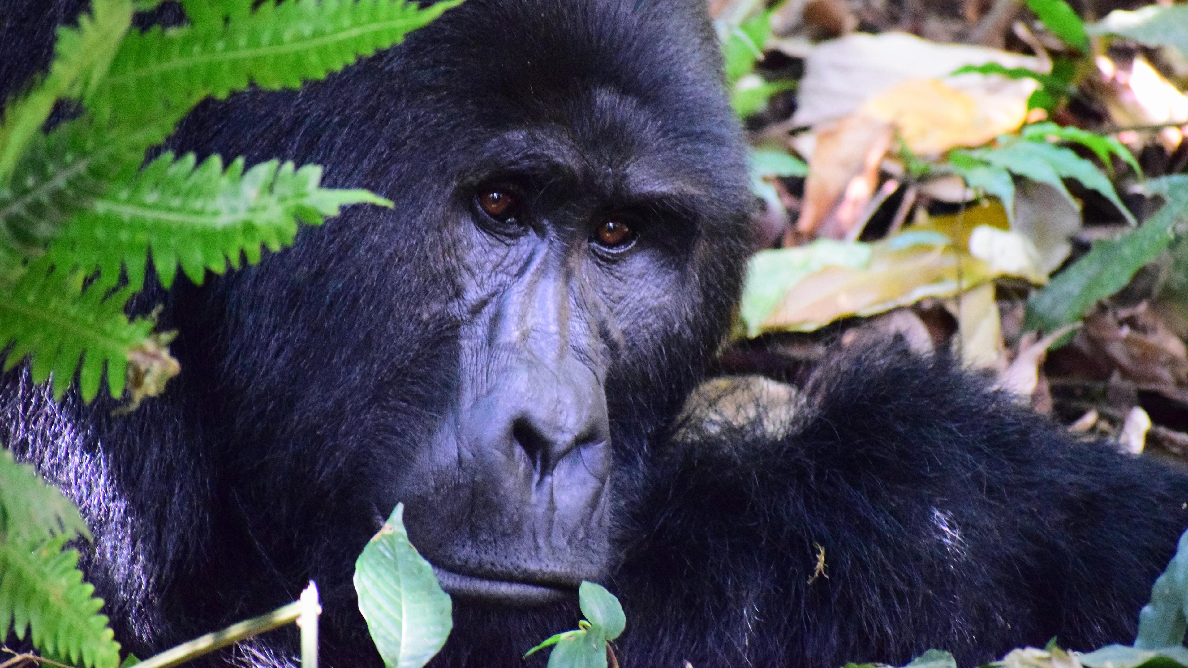 Frente a frente com os gorilas de Uganda